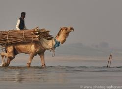 indian-camel-copyright-photographers-on-safari-com-7352