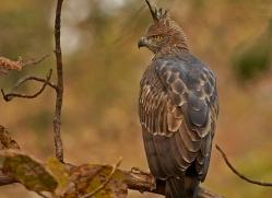 indian-crested-hawk-eagle-copyright-photographers-on-safari-com-7360
