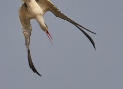 indian-skimmer-copyright-photographers-on-safari-com-7366