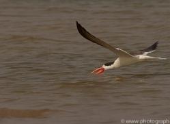 indian-skimmer-copyright-photographers-on-safari-com-7371