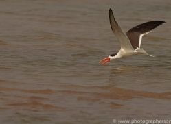 indian-skimmer-copyright-photographers-on-safari-com-7372