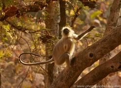 langur-monkey-copyright-photographers-on-safari-com-7374