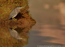 little-heron-copyright-photographers-on-safari-com-7376