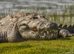 mugger-crocodile-copyright-photographers-on-safari-com-7380