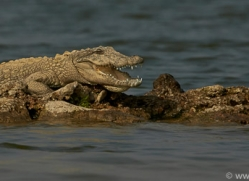 mugger-crocodile-copyright-photographers-on-safari-com-7389