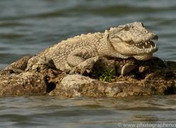 mugger-crocodile-copyright-photographers-on-safari-com-7390