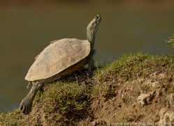 red-crowned-roof-turtle-copyright-photographers-on-safari-com-7398