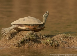 red-crowned-roof-turtle-copyright-photographers-on-safari-com-7399