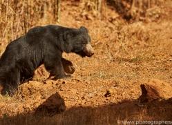 sloth-bear-copyright-photographers-on-safari-com-7405
