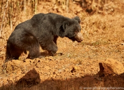 sloth-bear-copyright-photographers-on-safari-com-7406