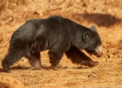 sloth-bear-copyright-photographers-on-safari-com-7408