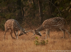 spotted-deer-copyright-photographers-on-safari-com-7410