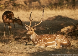 spotted-deer-copyright-photographers-on-safari-com-7412