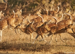 spotted-deer-copyright-photographers-on-safari-com-7416