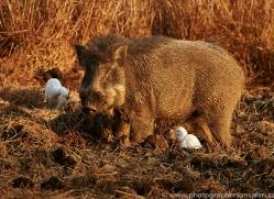 wild-boar-copyright-photographers-on-safari-com-7437