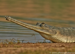 Gharial 2015 -8copyright-photographers-on-safari-com