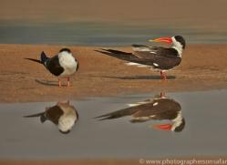 Indian Skimmer 2015 -1copyright-photographers-on-safari-com