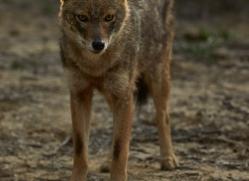 Jackal 2015 -2copyright-photographers-on-safari-com