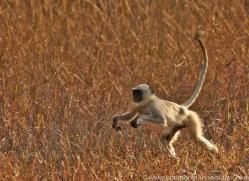 Langur Monkey 2015-2copyright-photographers-on-safari-com