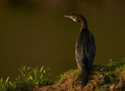 Little Cormorant 2015 -1copyright-photographers-on-safari-com