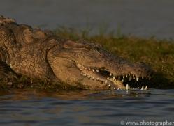 Mugger Crocodile 2015 -1copyright-photographers-on-safari-com