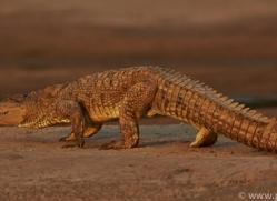Mugger Crocodile 2015 -2copyright-photographers-on-safari-com