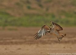 Osprey 2015 -1copyright-photographers-on-safari-com