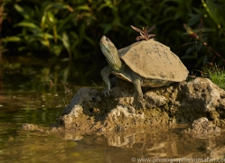 Red Crowned Roof Turtle 2015 -1copyright-photographers-on-safari-com