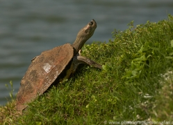 Red Crowned Roof Turtle 2015 -2copyright-photographers-on-safari-com