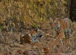 Tiger 2015-12copyright-photographers-on-safari-com