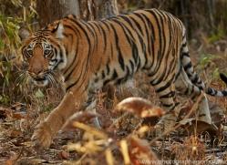 Tiger 2015-14copyright-photographers-on-safari-com