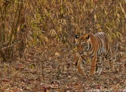 Tiger 2015-15copyright-photographers-on-safari-com
