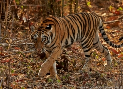 Tiger 2015-16copyright-photographers-on-safari-com