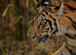Tiger 2015-17copyright-photographers-on-safari-com