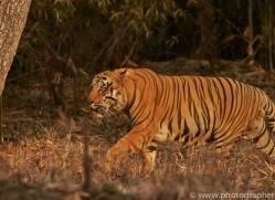 Tiger 2015-20copyright-photographers-on-safari-com
