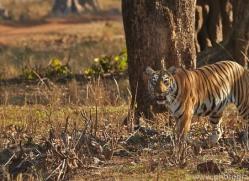 Tiger 2015-27copyright-photographers-on-safari-com