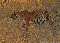 Tiger 2015-29copyright-photographers-on-safari-com