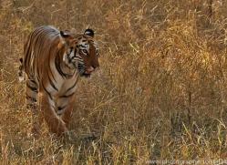 Tiger 2015-30copyright-photographers-on-safari-com