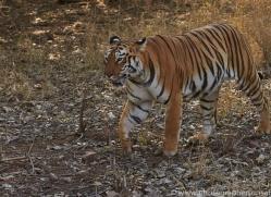 Tiger 2015-31copyright-photographers-on-safari-com