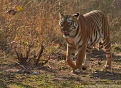 Tiger 2015-32copyright-photographers-on-safari-com