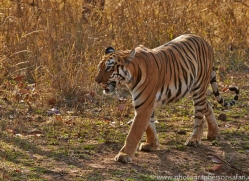 Tiger 2015-33copyright-photographers-on-safari-com