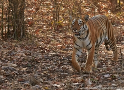 Tiger 2015-37copyright-photographers-on-safari-com