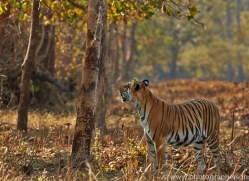 Tiger 2015-39copyright-photographers-on-safari-com