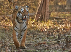 Tiger 2015-42copyright-photographers-on-safari-com
