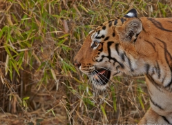 Tiger 2015-43copyright-photographers-on-safari-com