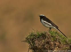 White Browed Wagtail 2015 -1copyright-photographers-on-safari-com