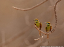 bee-eater-india-1407-copyright-photographers-on-safari-com