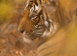 bengal-tiger-india-1458-copyright-photographers-on-safari-com
