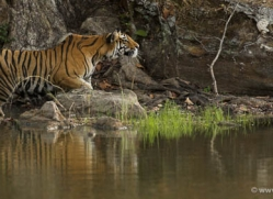 bengal-tiger-india-1463-copyright-photographers-on-safari-com