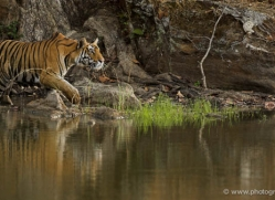 bengal-tiger-india-1466-copyright-photographers-on-safari-com